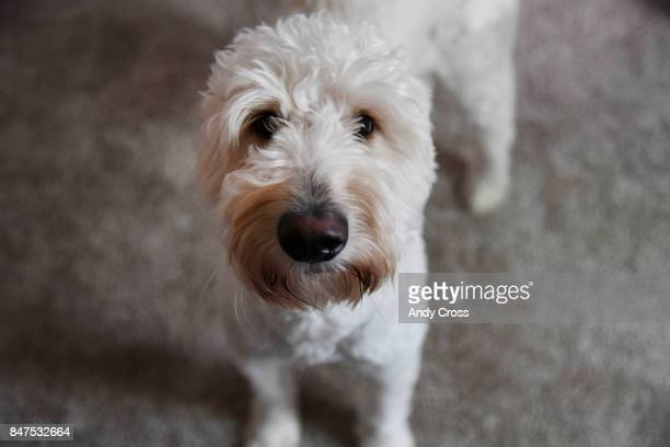 Trusty the 2yearold Golden Doodle service dog from Noelle's Dogs Four Hope at Brandis Perry's home September 13 2017