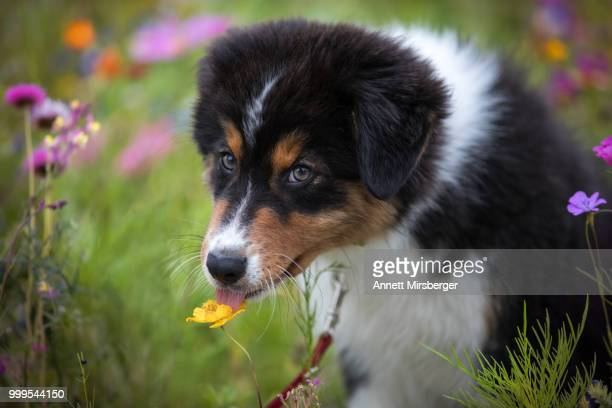 try makes wise... - australian shepherd puppies stock pictures, royalty-free photos & images