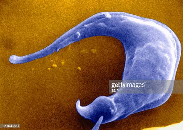 Trypanosoma Cruzi Under Sem Tryptomastigote Protozoa