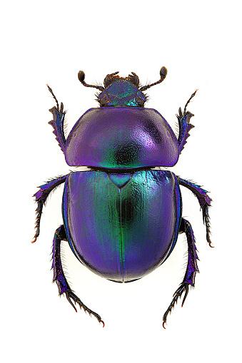 Trypocopris vernalis 512630432