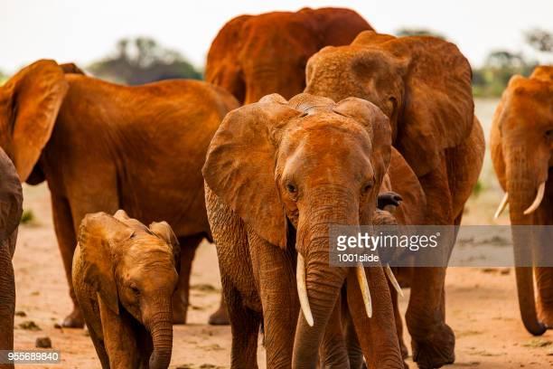 Tsavo East Afrikaanse rode olifanten - aanval