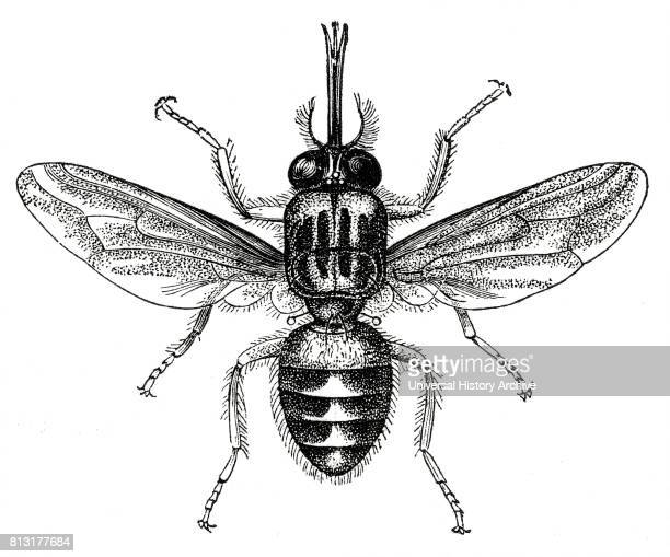 Tsetse Fly, Africa, Illustration, 1885.