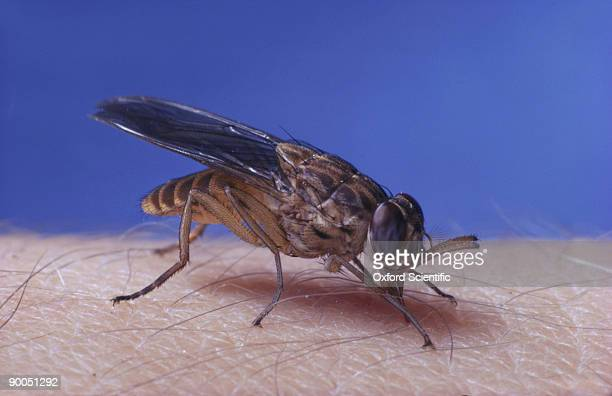 tsetse fly glossina austeni - tsetse fly stock pictures, royalty-free photos & images