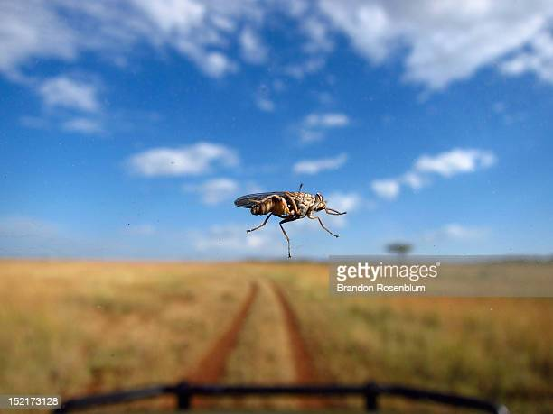 tsetse fly on windshield - tsetse fly stock pictures, royalty-free photos & images