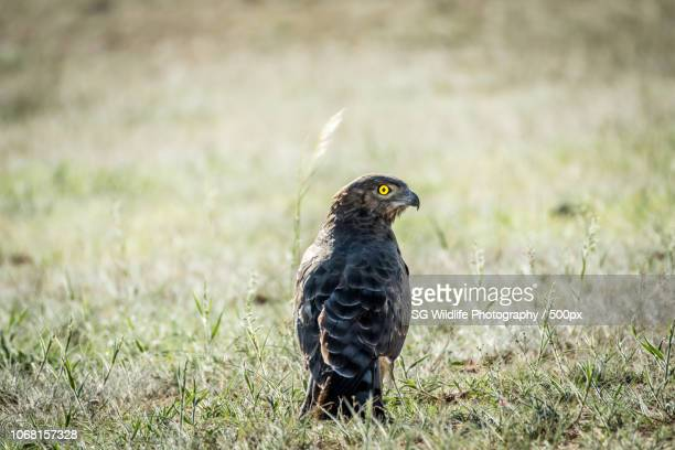 tshabong, botswana - black chested snake eagle stock pictures, royalty-free photos & images