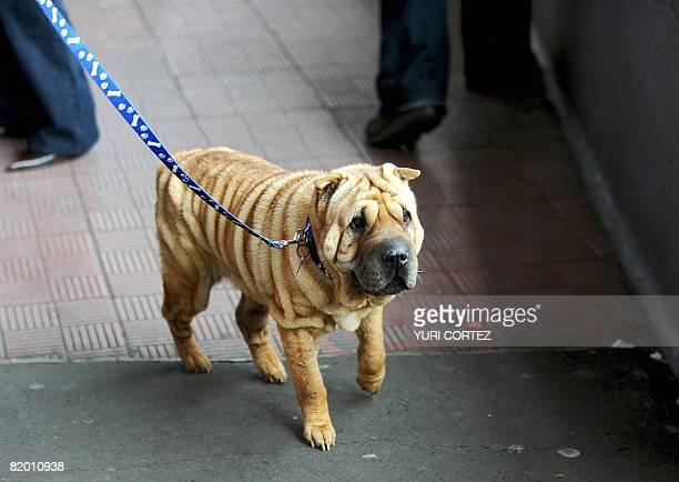 Tsunami a female Shar Pei is walked during the Miss Canine Costa Rica 2008 in San Jose in July 19 2008 In total some 300 dogs will participate in the...