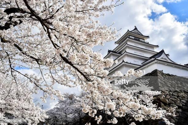 aizu tsurugajo castle in spring. - 桜吹雪 ストックフォトと画像