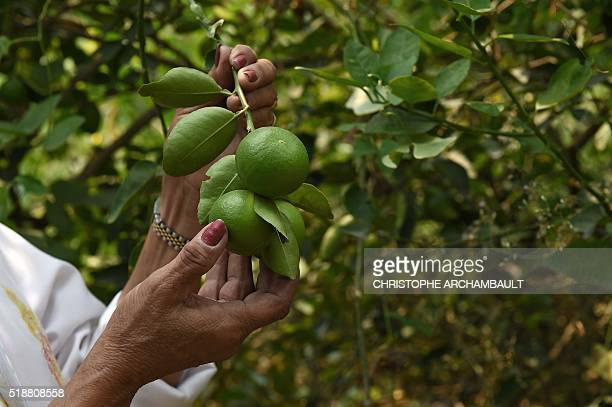 TThis picture taken on March 23 2016 shows Thai farmer Laddawan Kamsong showing off lemons at her plantation in Nonthaburi province outside Bangkok...