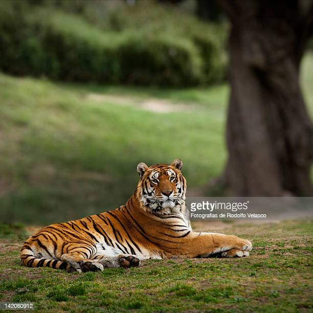 ttiger - bengal tiger stock pictures, royalty-free photos & images