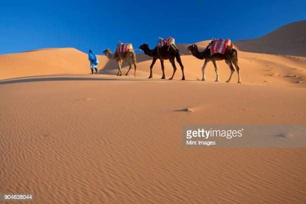 tuareg man leading camel train through the sahara desert. - camel train stock pictures, royalty-free photos & images