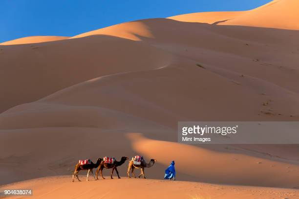 Tuareg man leading camel train through the Sahara desert.