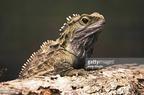 tuatara , primitive endemic reptile; stephens island, new zealand only member of the order rhynchocephalia, very similar to species known from 200 million years ago - reptile stock pictures, royalty-free photos & images