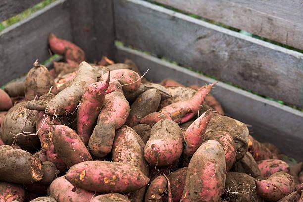 tub of sweet potatoes - さつまいも 土 ストックフォトと画像