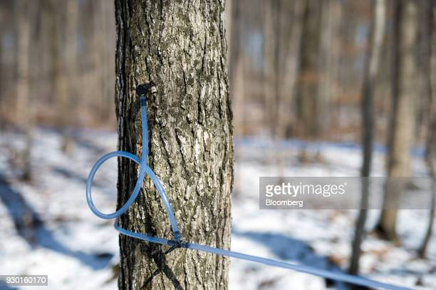 A tube system runs out of a tapped maple tree in the Wagler Maple Products sugarbush in Wessesley Ontario Canada on Friday March 2 2018 Canadians...