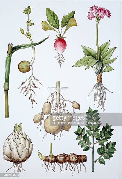 Tuberous roots and bulbs drawing