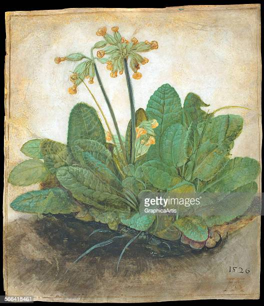 Tuft of Cowslips by Albrecht Durer gouache on vellum 1526 From the National Gallery Washington DC