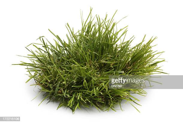 tuft of grass isolated on a white background - grass stock pictures, royalty-free photos & images