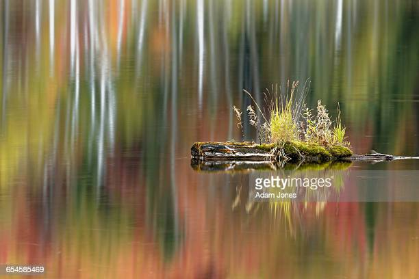 tuft of grass on log and fall colors reflecting - hiawatha national forest stock pictures, royalty-free photos & images