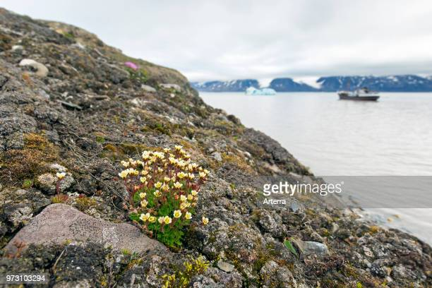 Tufted alpine saxifrage / tufted saxifrage in flower on the Arctic tundra Spitsbergen / Svalbard Norway