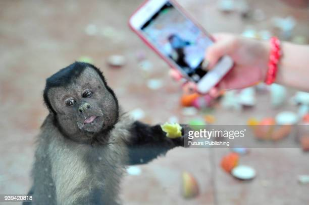 Tufted capuchin, also known as black-capped capuchin, has food in a zoo in north China's Tianjin Municipality Tuesday, March 27, 2018. The primate...