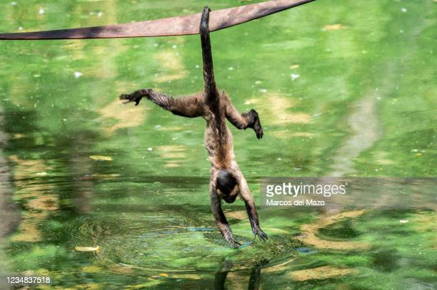 Tufted capuchin , also known as brown capuchin, black-capped capuchin, hanging by the tail trying to cool off with water from a pond during a summer...