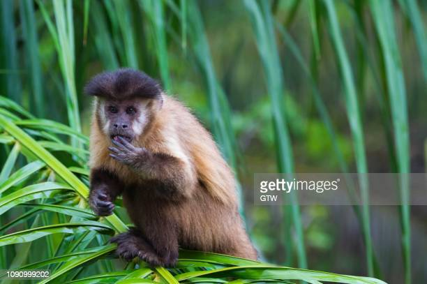 tufted capuchin, black-capped capuchin or brown capuchin (cebus apella), in a palm tree, mato grosso do sul, brazil - capuchin monkey stock pictures, royalty-free photos & images