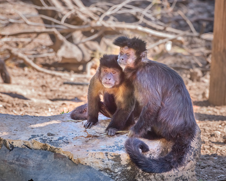 Tufted capuchin, Sapajus apella. Exotic monkeys in the Monkey Forest in Yodfat, Israel. Natural conditions for freely moving animals 1218987190
