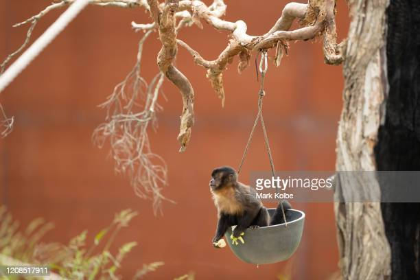 Tufted Capuchin sits in a hanging food tray on a tree in it's enclosure at Sydney Zoo on February 24, 2020 in Sydney, Australia. Sydney Zoo, located...