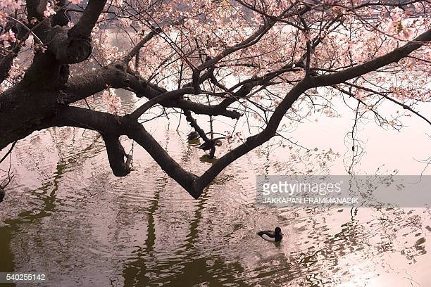 Tufted duck in Shinobazu pond with Cherry Blossoms