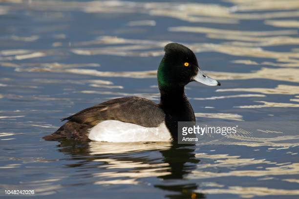 Tufted duck male swimming in lake
