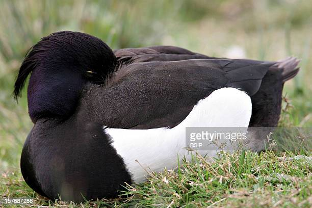 Tufted Duck Male Tufted Duck In The Somme Bay In Picardy FranceAythya Fuligula Tufted Duck Pochard Duck Anatid Palmiped Bird