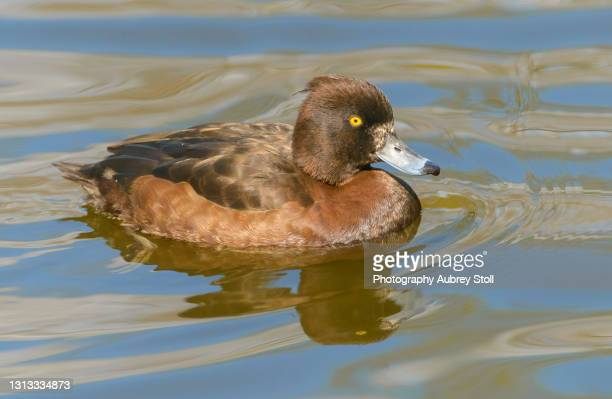 tufted duck - richmond park stock pictures, royalty-free photos & images