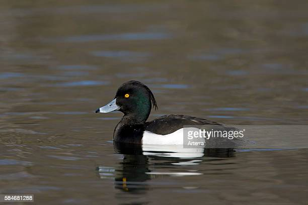 Tufted duck swimming in lake Germany