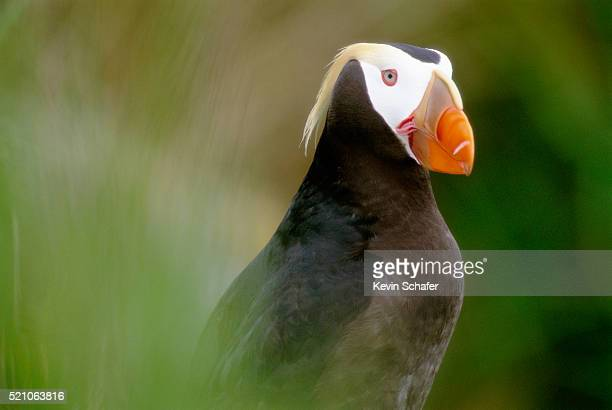 tufted puffin - sea of okhotsk stock pictures, royalty-free photos & images
