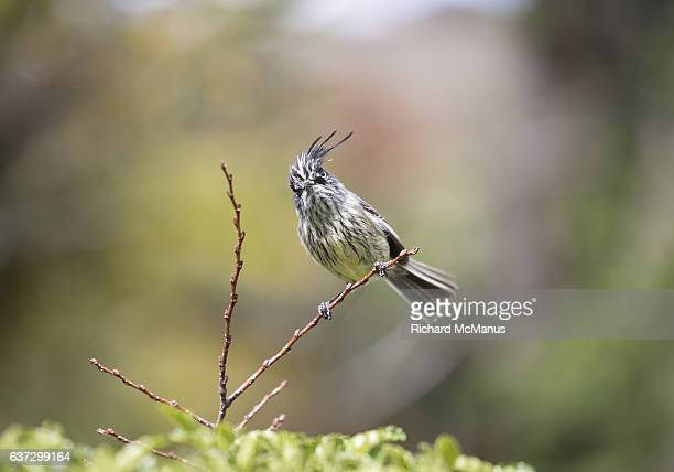 tufted tit tyrant in torres del paine, chile. - dictator stock pictures, royalty-free photos & images