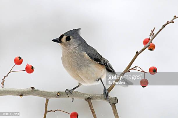 Tufted Titmouse, Parus bicolor, on Crab Apple tree branch. Common in deciduous woodlands, parklands, suburban areas. A familiar visitor to feeders, active and noisy. Michigan. USA