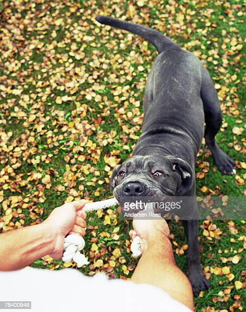 tug-of-war with dog - dogs tug of war stock pictures, royalty-free photos & images