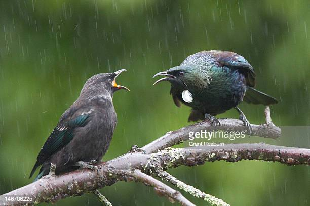 Tui and youngster