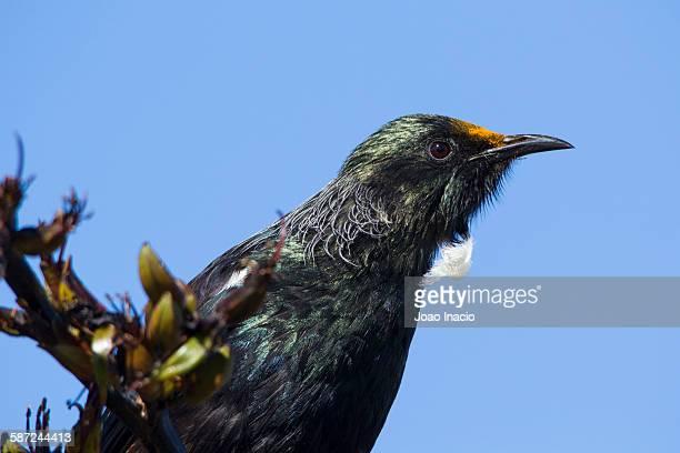 Tui bird (close up)