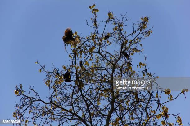 Tui birds in a Kowhai Tree