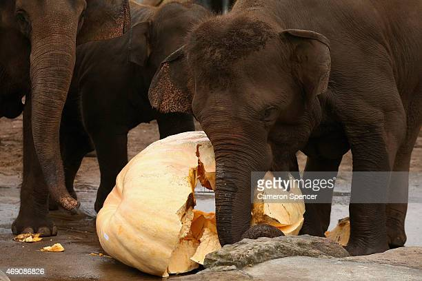 Tukta a baby elephant feeds on a giant pumpkin at Taronga Zoo on April 10 2015 in Sydney Australia Taronga Zoo and the Sydney Royal Easter Show...