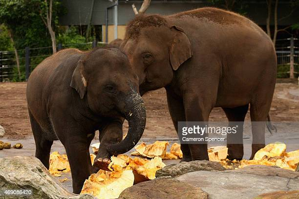 Tukta the elephant and her mother Pakboon feed on giant pumpkins at Taronga Zoo on April 10 2015 in Sydney Australia Taronga Zoo and the Sydney Royal...