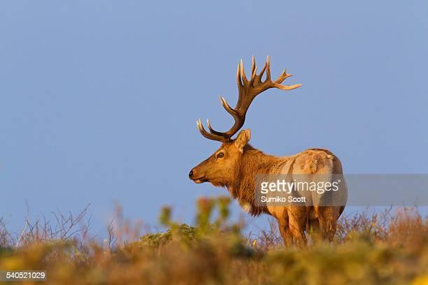 tule elk at sunset, point reyes national seashore - wapiti foto e immagini stock