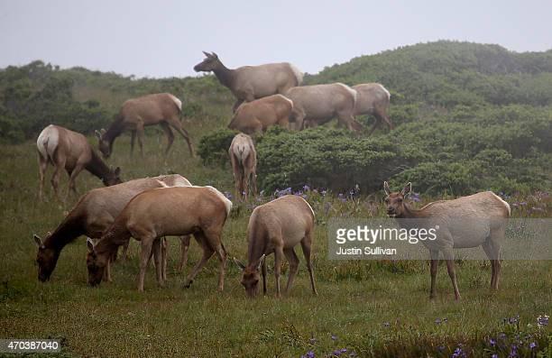 Tule Elk graze on grass in a field at Point Reyes National Seashore Elk Preserve on April 19 2015 in Point Reyes Station California As California...