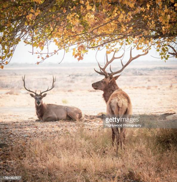 tule elk in autumn - highlywood stock pictures, royalty-free photos & images