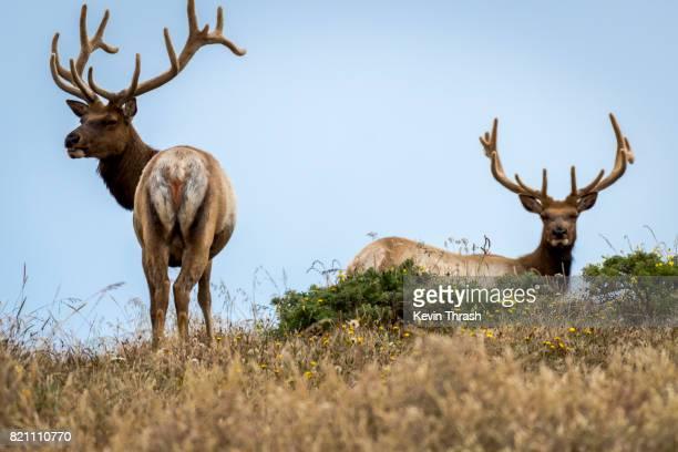 tule elk, pt. reyes - reserva animal - fotografias e filmes do acervo
