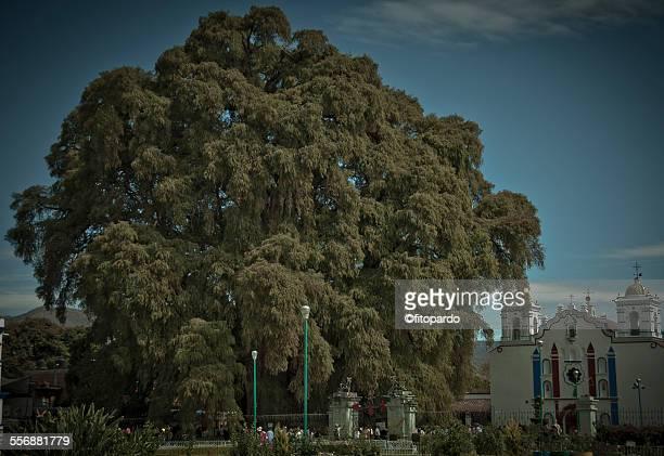 Tule tree, wold widest tree