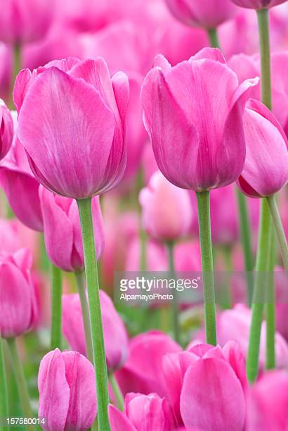 Tulip abstract, 'Don Quichotte' cultivar - XI