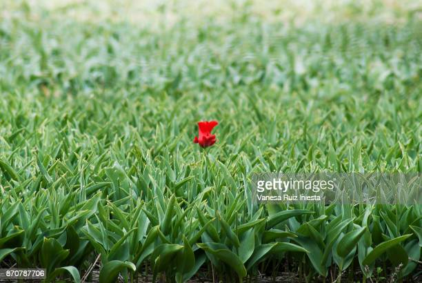 tulip alone - tapeworm stock photos and pictures