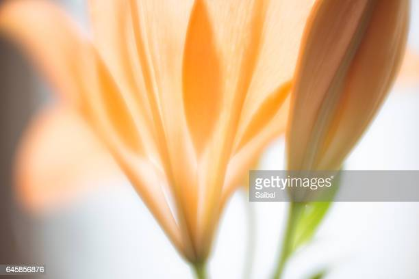 tulip bud and flower - st. paul minnesota stock pictures, royalty-free photos & images